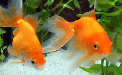 Pesce rosso acqua dolce fredda in vendita a torino for Piscina per pesci rossi