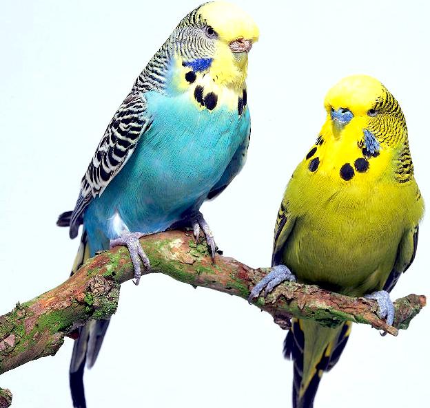 Vendita di pappagallini ondulati cocorite torino aqva for Piani domestici tropicali