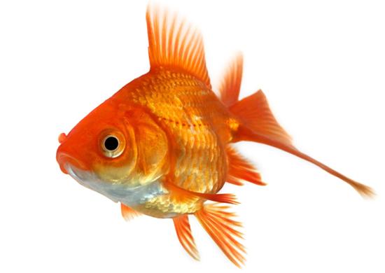 Pesce rosso carassio rosso ciprino dorato in vendita a for Dove comprare pesci rossi