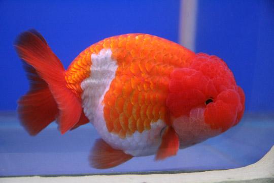 pesce rosso acqua dolce fredda in vendita a torino