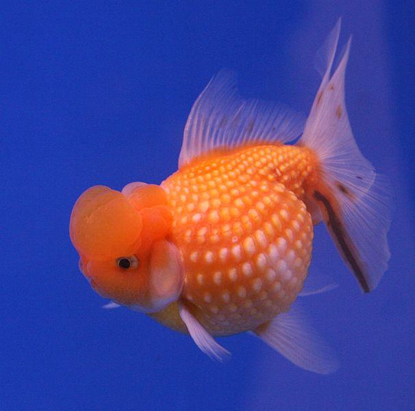 Pesce rosso acqua dolce fredda in vendita a torino for Vendita pesci