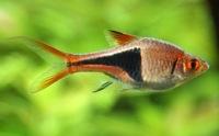 Pesce Arlecchino Vendita pesci tropicali a torino