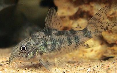 Pesce Coridora Vendita pesci tropicali torino